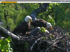Mr. and Mrs. President with dc2 and dc3 eaglets in Washington DC arboretum.
