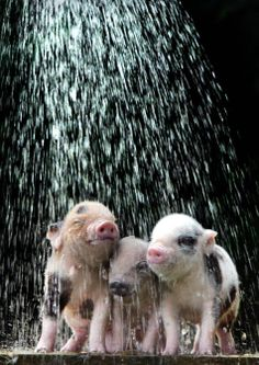 Pictures of animals keeping cool. I am DYING over the pig pictures in particular.