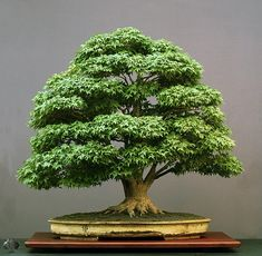 One of the most famous Bonsai trees that belongs to the collection of an European Bonsai artist (Walter Pall), this tree is incredibly fine and realistic. The maple is big (almost a meter high, which is the maximum to be called a Bonsai tree) and over a hundred years old. A masterpiece without doubt, styled by an inspiring artist! The tree is posted in our Top Bonsai gallery.