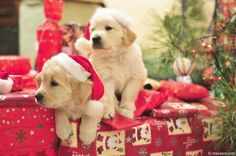 Christmas Puppies / Golden Retriever / Puppy / Pet Photography / Holiday Card Idea