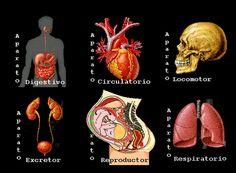 JClic – Aparatos del cuerpo humano