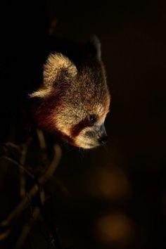 Red Panda (Florence Merlote)