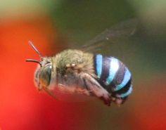 Australian blue-banded bee