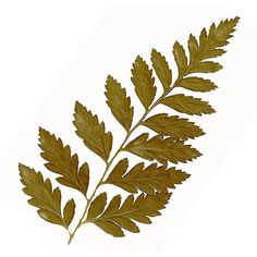 Pressed Autumn Fern - Pressed Flowers ($4.75) ❤ liked on Polyvore featuring home, home decor, fillers, plants, flowers, handmade home decor, autumn home decor and fall home decor