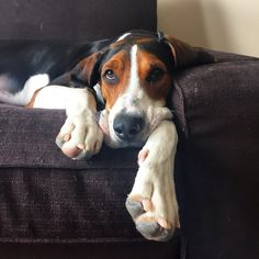 adorable treeing walker coonhound