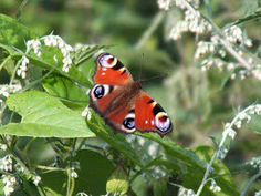 """Team4Nature UK on Twitter: """"WEEKEND CHALLENGE: how many RT's before #ButterflyCount finishes tomorrow!…"""