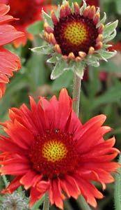 Gaillardia x grandiflora 'Tokajer' - Kokardenblume