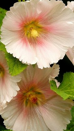 mallow_flower_close-up_54085_640x1136 | Flickr - Photo Sharing!
