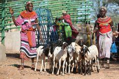 Photo d'illustration: Les femmes de la communauté de Rendille amènent leurs chèvres et leurs moutons au marché du bétail de la Merille lors d'une visite du projet Climat, élevage et marchés (CLIMARK) lancé par le Centre technique de coopération agricole et rurale (CTA) le 30 avril 2019 à Isiolo (crédits: Fredrick Omondi, Marsabit County, Kenya / CTA ACP-EU / Flickr Creative Commons Attribution-ShareAlike 2.0 Generic (CC BY-SA 2.0)) Avril, Livestock, Kenya, Goats, Camel, Centre, Creative, Illustration, Animals
