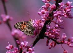 American Painted Lady on Redbud by Lorraine A Booker on 500px