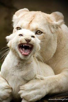 White Lion and cub # animals # Nature Animals, Animals And Pets, Baby Animals, Funny Animals, Cute Animals, Wild Animals, Wildlife Nature, Angry Animals, Nature Nature