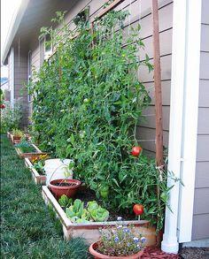 Trellising Tomato Plants