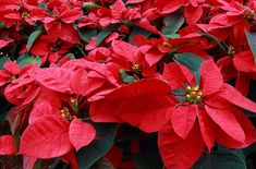 Year in and year out, Americans buy more poinsettias than any other type of flowering indoor potted plant.