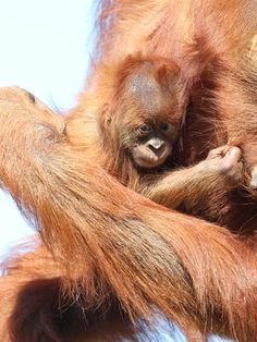 Google Image Result for http://www.oneperth.com.au/wp-content/uploads/2012/03/orangutans.jpg