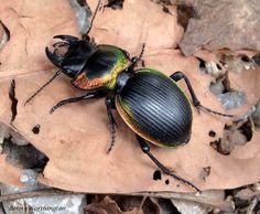Copper Ground Beetle Mouhotia batesi