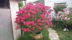 Leander őszi metszése – bevált praktikák – Balkonada Plants, Gardening, Lawn And Garden, Plant, Planets, Horticulture