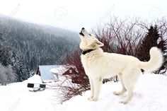 white husky photography - Google Search