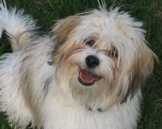 Havanese Dog Breed | Oh he is smiling!