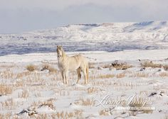 This Gray stallion lives int he Adobe Town Herd Area in southwestern Wyoming. On a cold day in January, he pauses against the dramatic Adobe Rim backdrop before running back to his family band.  This is a fine art print, signed by Carol Walker and printed on archival paper with archival inks. All prints smaller than 24x36 are printed personally and with great care by Carol Walker. Prints will be signed by Carol Walker.  Gallery wrapped canvas will be shipped stretched, ready to hang if the…