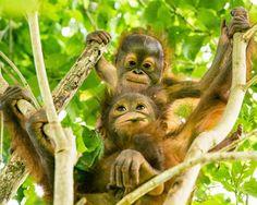 Marie and her new buddy Onyo Monkey See Monkey Do, Monkey Girl, List Of Animals, Animals And Pets, Wild Animals, Primates, Baby Orangutan, Mountain Gorilla, Power Animal
