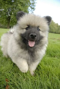 Keeshond puppies (Maybe My Favorite) by Mark Sobba, via Flickr
