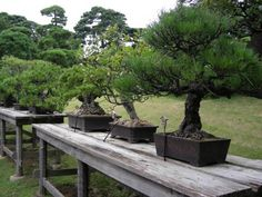 Los bonsai, esos pequeños grandes árboles
