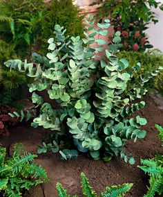 Eucalyptus   Arbres & arbustes   Bakker France