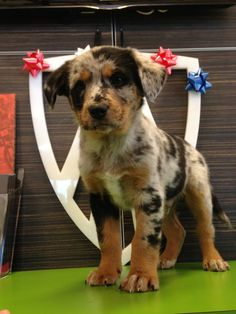 Australian Shepherd and Louisiana Catahoula mix puppy