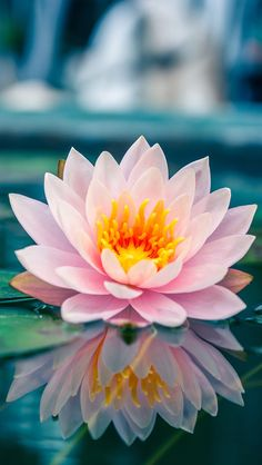 The lotus is a symbol of purity, and it blooms profusely in Buddhist art and literature. Its roots are in muddy water, but the lotus flower rises above the mud to bloom clean and fragrant. posted by Sifu Derek Frearson Lotus Flower Wallpaper, Lotus Flower Art, Lotus Flower Pictures, Art Floral, Exotic Flowers, Pretty Flowers, Pink Lotus, Water Plants, Water Flowers