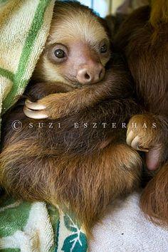 Rescued sloth, photo by Suzi Eszterhas  my fav. animal