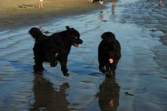 Newfoundlands, Izzy and Zoie.