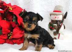Duke, Yorkshire Terrier Puppy