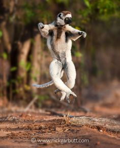 Adult Verreauxs Sifaka (Propithecus verreauxi) dancing or skipping across open ground. Gallery forest, Berenty Reserve, southern Madagascar.
