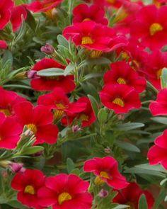 Annual - tiered planter on deck) Million Bells® Trailing Red Calibrachoa hybrid Beautiful Flowers, Hanging Baskets, Plants, Petunias, Summer Flowers, Million Bells, Tiered Planter, Summer Plants, Plant Zones