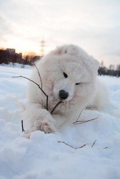 Google Image Result for http://us.123rf.com/400wm/400/400/evdoha/evdoha1101/evdoha110100475/8674049-young-samoyed-at-the-park-in-winter.jpg