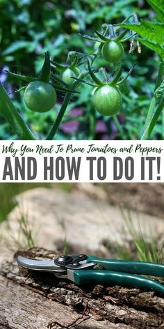 Why You Need To Prune Tomatoes and Peppers. When you prune tomatoes and peppers, good things happen in your garden! Growing Tomatoes In Containers, Growing Vegetables, Grow Tomatoes, Cherry Tomatoes, Gardening Vegetables, Dried Tomatoes, Organic Gardening, Gardening Tips, Pruning Tomato Plants