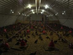The Effect of Light Levels on Developing Birds. Ever wonder how animals are affected by lighting? Here's some information on what we do here at the pheasant farm to help keep our pheasants as healthy as possible.