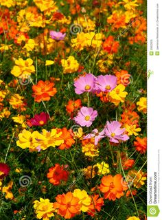 Image from http://thumbs.dreamstime.com/z/pink-wildflowers-surrounded-yellow-orange-20822835.jpg.