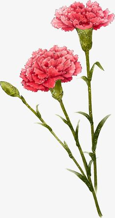 Carnation Drawing, Carnation Tattoo, Watercolor Flowers, Watercolor Paintings, Mother's Day Background, Nature Sketch, Flower Sketches, Art Floral, Gravure