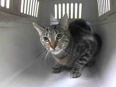 TO BE DESTROYED 8/22/14 ** SECOND CHANCE FOR THIS PRETTY, YOUNG GIRL!! Please make it count! ** Manhattan Center  My name is MEATLOAF. My Animal ID # is A1010928. I am a female brn tabby domestic sh mix. The shelter thinks I am about 1 YEAR  I came in the shelter as a STRAY on 08/17/2014 from NY 10025