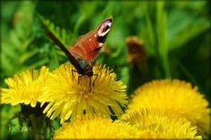 vlinder op paardebloem Spring 2014, Holland, Animals, The Nederlands, Animales, Animaux, The Netherlands, Animal, Netherlands