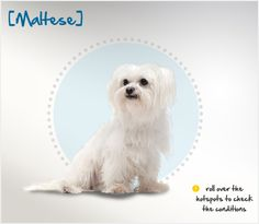 Did you know the Maltese was first recognized in Malta and have been owned by royalty all over the globe for 28 centuries? Read more about this breed by visiting Petplan pet insurance's Condition Checker!