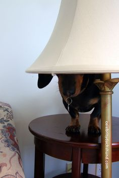 Make note that no one mentions the dachshund being ON the table.other breeds Baby Dachshund, Funny Dachshund, Daschund, Cute Puppies, Cute Dogs, Dogs And Puppies, Weenie Dogs, Doggies, Crusoe The Celebrity Dachshund