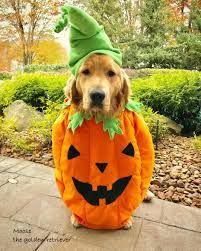 Moose Dog Costume : moose, costume, Moose, Costume, Google, Search, Halloween, Costumes,, Pumpkin,