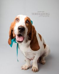 GiGi is an adoptable Basset Hound Dog in Frisco, TX. GiGi, is an 18 month old Basset that was pulled out of the Fort Worth shelter at the VERY LAST minute. They deemed her fearful and shy, not exactly...