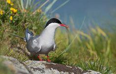 Arctic Tern, Norway | by janmangorfagerland Arctic Tern, Beautiful Images, Norway, Birds, Nude, Explore, Photography, Animals, Inspiration
