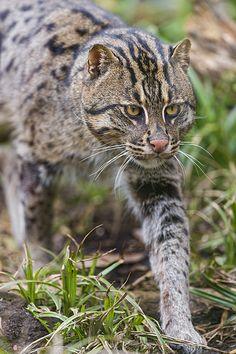Walking fishing cat | by Tambako the Jaguar