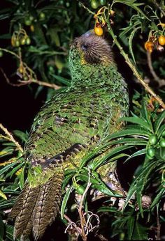 The Kakapo Parrot of New Zealand, Strigops habroptilus also called owl parrots… Pretty Birds, Beautiful Birds, Animals Beautiful, Cute Animals, Beautiful Horses, Flightless Parrot, Kakapo Parrot, Exotic Birds, Colorful Birds