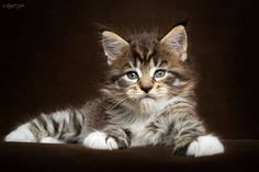 Maine Coon Kitten. Robert Sijka Photography