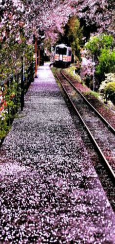 Arrival in Spring - railroad covered with sakura blossoms, Japan - by Minoru Matsumura